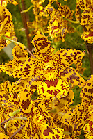 Colmanara Wildcat orchid hybrid in vivid yellow and red patterns (Odontocidium Wildcat)