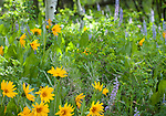 Idaho, Eastern, Driggs. Wildflowers in the Bighole Mountains in summer.