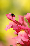 Green Bottle Fly on Snapdragon, Blowfly, Lucilia, Southern California