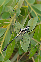344000008 a wild male grappletail octogomphus specularis perches on plant leaves along ash creek near ash creek campground lassen county california