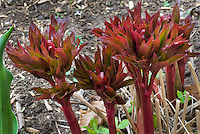 Paeonia lactiflora 'Sarah Bernhardt' IN SPRING new young red unfurling emerging growth