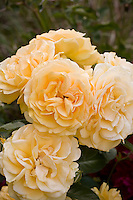 Rose 'Julia Child' yellow flower in California garden