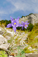 Columbine (Aquilegia bertoloni), endemic to the Apuane Alps area of the Apennines, Italy