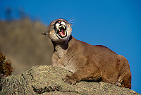 656326197 a captive mountain lion felis concolor snarls threateningly from atop a lichen covered rock in central montana