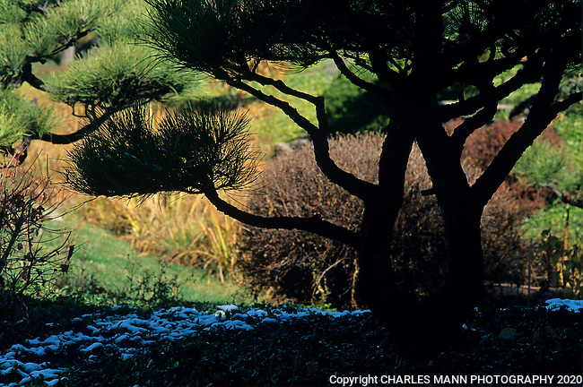 The silhouette of a pine can seem mysterious when the light falls a certain way in a Zen garden.