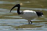 Sacred Ibis, Threskiornis aethiopicus, Lake Langano, Ethiopia, feeding in water, wading.Africa....