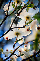 Dogwood Tree Blossoms.Macro / Details in Nature.Stock images for license - no use without permission