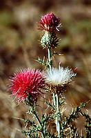 Close up of a Thistle plant (Cirsium neomexicanum). Arizona.