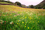 Hay Meadow in flower, Muker, Swaledale, Yorkshire