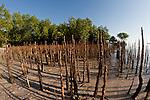Roots of black mangrove tree (Avicennia germinans)