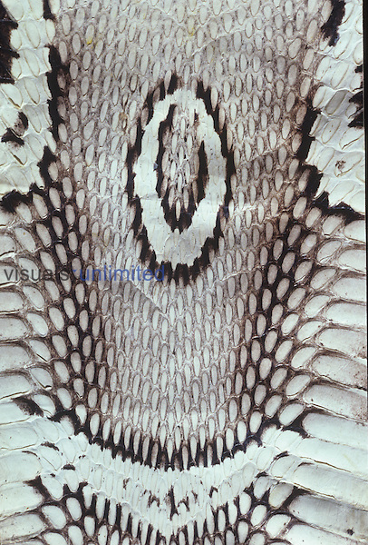 Close-up of the pattern on Indian Cobra skin.