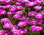 A bed of new Aster flowers in a garden seem to glow in the bright spring sun.  Rehoboth Beach, Delaware, USA.
