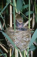 Kuckuck, Küken im Nest eines Teichrohrsänger, Teichrohrsänger füttert das mittlerweile größere Küken, Brutparasitismus, Cucullus canorus, cuckoo