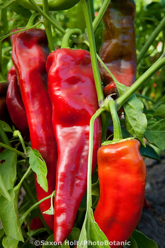 Heirloom Italian sweet red pepper - Corno Di Torro, ripening on bush in vegetable garden