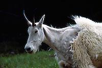 Mountain Goat (Oreamnos americanus), aka Rocky Mountain Goat, moulting Fur, Kootenay National Park, BC, British Columbia, Canada
