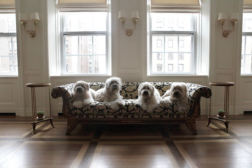 Four wheaten terriers pose for a portrait in an apartment on the Upper East Side of Manhattan on April 5, 2011. From left, Elsie, Jack, Heidi and Lilly...Danny Ghitis for The New York Times
