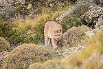 A Puma walks along a rocky hillside in Patagonia, Chile.