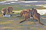 Wallabies, Healesville Sanctuary