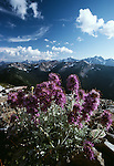 Wildflowers, North Cascades National Park, Washington