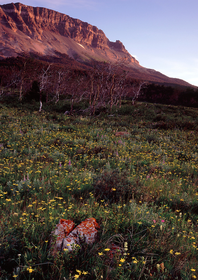 Warm light from the sunrise illuminates the mountainside and flowers in the Two Dog Flats area of Glacier National Park, Montana.