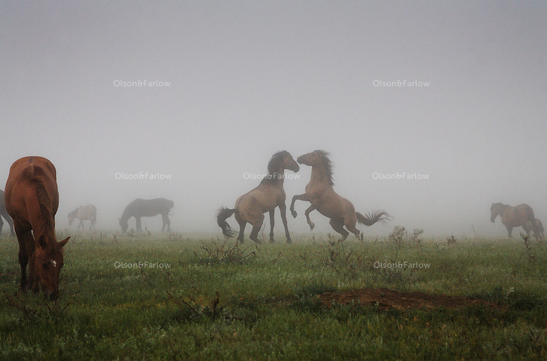 Fog adds confusion as a stud challenges a stallion as he tries to steal his mare.  The Gila herd are descended from Spanish horses brought in the 1600s by the conquistadors.  They have primitive markings, dark mane and tail, a dorsal stripe and zebra stripes on their legs.