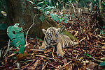 Indochinese tiger cub, Indonesia (captive)