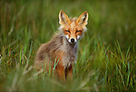 Red fox, Cape Peirce, Togiak National Wildlife Refuge, Alaska