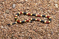 Sonoran Coral Snake, Micruroides euryxanthus