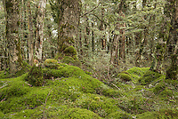 Carpet of moss in beech forest, Fiordland National Park, Southland, New Zealand