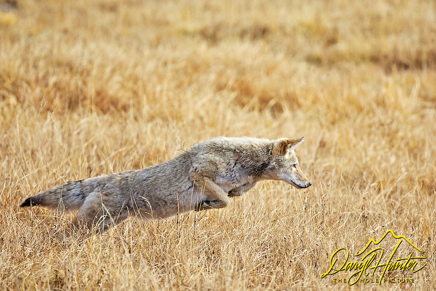 Leaping Coyote, Yellowstone National Park