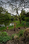Ornamental rhubarb growing on the edge of a small lake in a park ,Hamburg, Germany