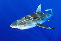 Galapagos shark, .Carcharhinus galapagensis, .North Shore, Oahu, Hawaii (Pacific)