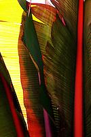 Close up of banana leaves