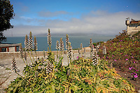 Bear's Breech, Acanthus mollis, Gardens of Alcatraz overlooking San Francisco Bay