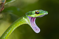 A Giant Parrotsnake (Leptophis ahaetulla) opens its mouth in a threat display, Bocas del Toro, Colon Island, Panama