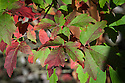 Autumn foliage of paper-bark maple (Acer griseum),  late October.