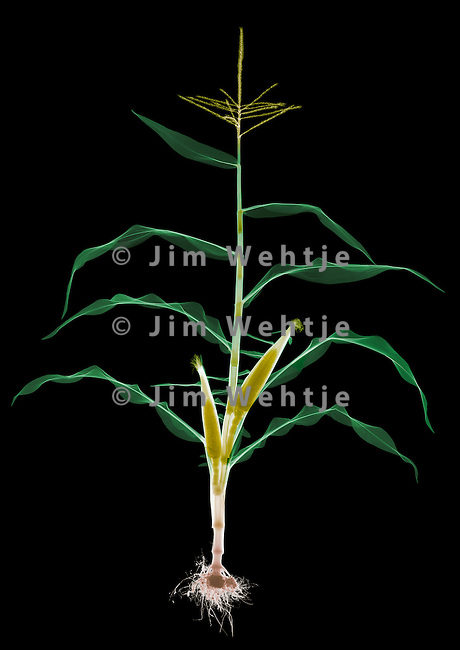 X-ray image of a sweet corn plant (color on black) by Jim Wehtje, specialist in x-ray art and design images.