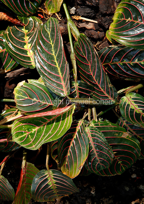 Tropical Rainforest Glasshouse (formerly Le Jardin d'Hiver or Winter Gardens), 1936, René Berger, Jardin des Plantes, Museum National d'Histoire Naturelle, Paris, France.  Detail of the red veined, deep green foliage of a Maranta bicolor in the afternoon light.