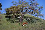 horses and oak trees, Contra Costa County