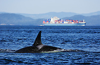 qd0170-D. Orca (Orcinus orca), with huge container ship behind. British Columbia, Canada, Pacific Ocean..Photo Copyright © Brandon Cole. All rights reserved worldwide.  www.brandoncole.com..This photo is NOT free. It is NOT in the public domain. This photo is a Copyrighted Work, registered with the US Copyright Office. .Rights to reproduction of photograph granted only upon payment in full of agreed upon licensing fee. Any use of this photo prior to such payment is an infringement of copyright and punishable by fines up to  $150,000 USD...Brandon Cole.MARINE PHOTOGRAPHY.http://www.brandoncole.com.email: brandoncole@msn.com.4917 N. Boeing Rd..Spokane Valley, WA  99206  USA.tel: 509-535-3489
