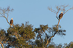 Brazoria County, Damon, Texas; a male/female pair of bald eagles are perched atop a tall tree in early morning sunlight