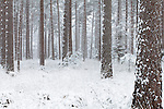Woods with snow in winter