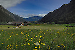 Cattle in in spring meadows  with the background of farm buildings and snow capped mountains. St Anton district. Tyrol, Austria.