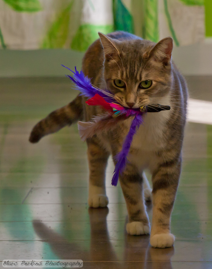 """Kira broke the feather toy off the string; Lucca then """"captured"""" it and walked around for 5 minutes with it in her mouth, showing it off.  So cute!"""