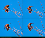 Allen's Hummingbird Male, Balance Issues, Sepulveda Wildlife Refuge, Southern California