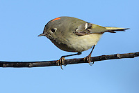 The petite Kinglets are among the smallest of our native birds. The Ruby-crowned Kinglet (seen here) and the Golden-crowned Kinglet are the only two species that occur in North America.