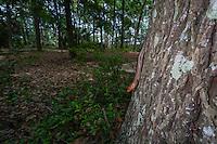 A male Broad-headed Skink (Plestiodon laticeps) surveys its surroundings from the side of an oak tree.