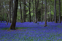 Bluebell wood - England