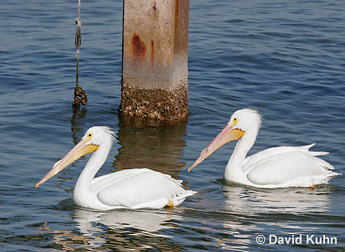 0727-0801  American White Pelican, Pelecanus erythrorhynchos © David Kuhn/Dwight Kuhn Photography.