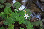 Redwood sorrel at Fall Creek